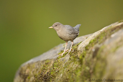American Dipper, take at the Oyster River potholes.