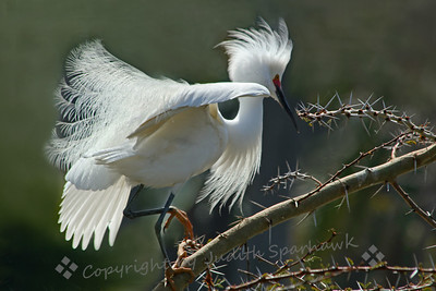 Snowy Egret Breeding Display ~ This egret was hanging out near a tree with many egret nests in it.  He was making strange gutteral sounds and going through a variety of display behaviors and positions.  His very red ceres indicates he is in high breeding readiness, as do his wonderful plumes, that he used in his displays.