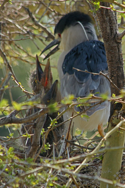 Black-crowned Night Heron & Hungry Babies ~ This night heron was feeding these hungry babies.  Her mate was out hunting for lunch, bringing it back to the nest periodically.  At first I didn't realize there were babies in the nest, but when given the chance to eat, they definitely popped up in view!