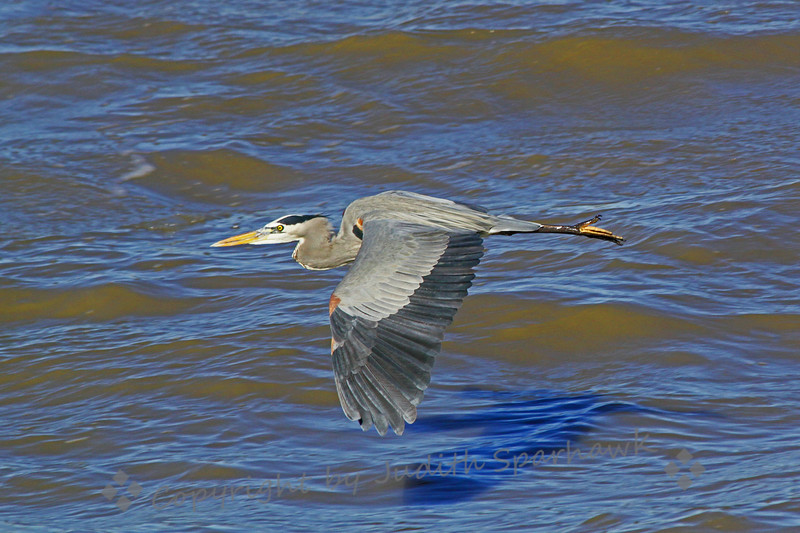 Great Blue Heron Flying ~ This heron was flushed from its perch on the edge of Salton Sea when I drove by.  I was happy to capture him in flight just above the water.