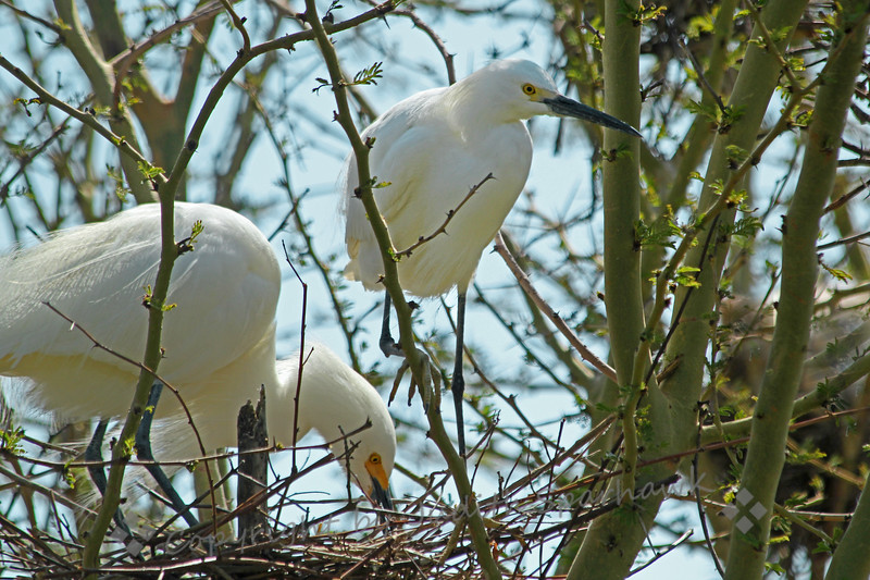 Snowy Egrets Nesting ~ This pair of egrets had prepared their nest, and were taking turns sitting on it.  They were preening themselves and each other, and were quite attentive to each other.