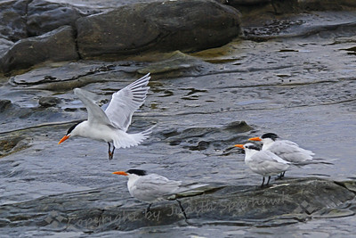 Royal Terns ~ Photographed in La Jolla Cove, San Diego area.