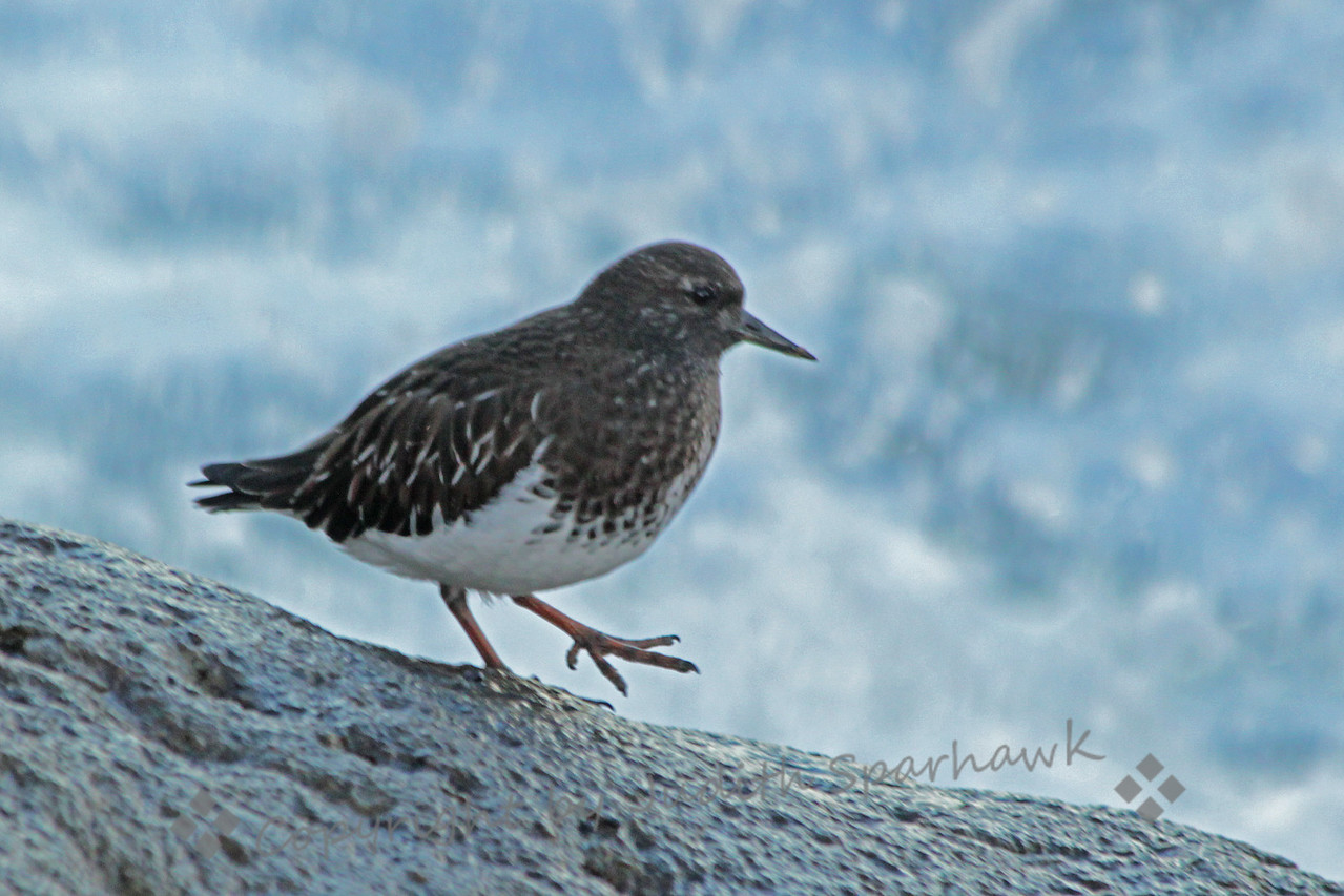 Black Turnstone ~ This bird was one of several turnstones on the rocks by the surf in Morro Bay, California.  He is in his winter plumage, which is lighter than his breeding attire.