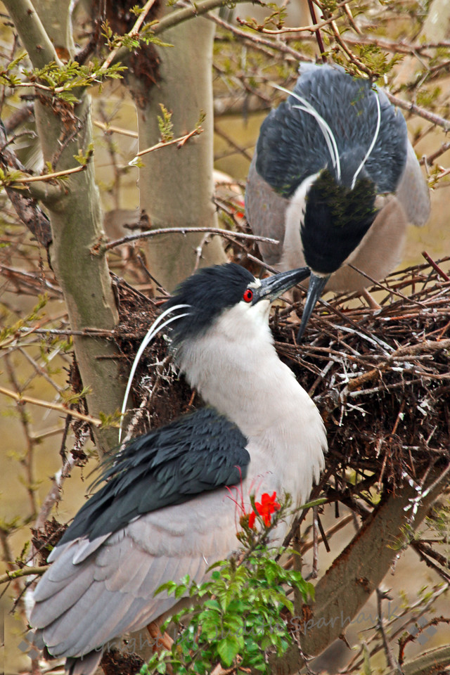"""Nesting Black-crowned Night Herons ~ I enjoyed watching this pair of nesting herons in the San Diego area, including bringing more twigs for the nest, mating right on the nest, and """"cuddling"""" afterwards."""