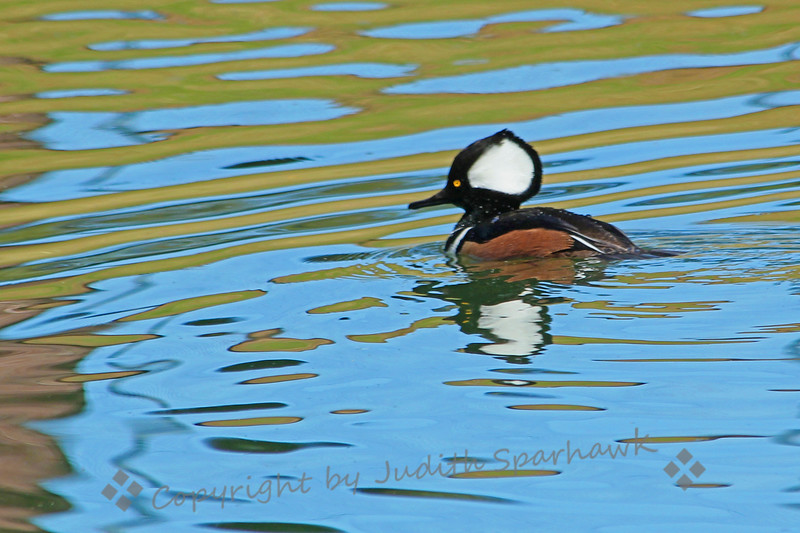 "Solitary Hooded Merganser ~ This male Hooded Merganser was nicely reflected in the pond in a local park.  He had his ""hood"" fully raised as he came up from each dive for food.  He lowered it just before diving.  Each time he went under, I moved as quickly as possible to get nearer to his location, hoping for a closer shot."