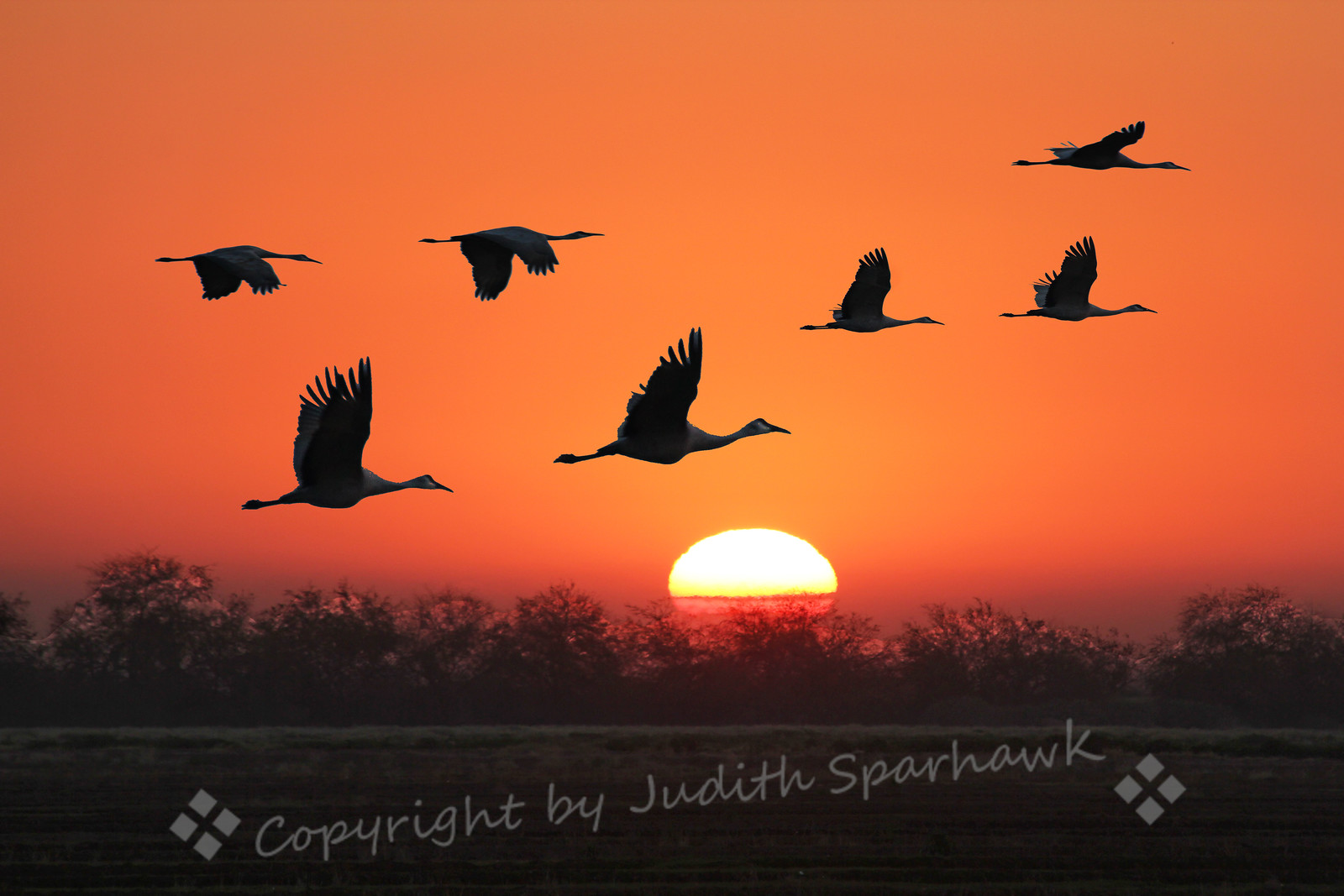 Cranes in the Sunrise ~ These Sandhill Cranes were flying out to the grassy fields to feed for the day.  I arrived well before dawn, and could hear the thousands of Snow Geese and the cranes before I could see them.  Then the sun rose, and lit up the world.