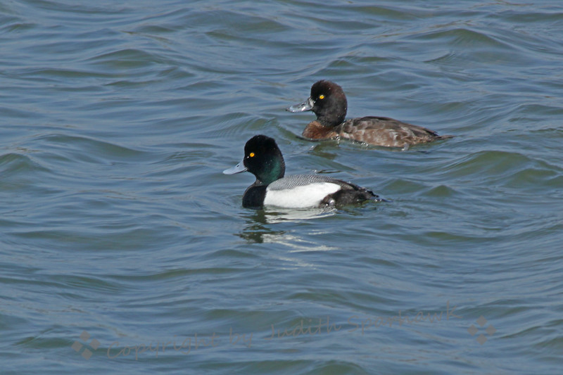 Greater Scaups ~ This pair of scaups was photographed at Bolsa Chica Ecological Preserve in Orange County, California.  I was happy to get a shot with both the male and female together.  I guess it's that time of year....