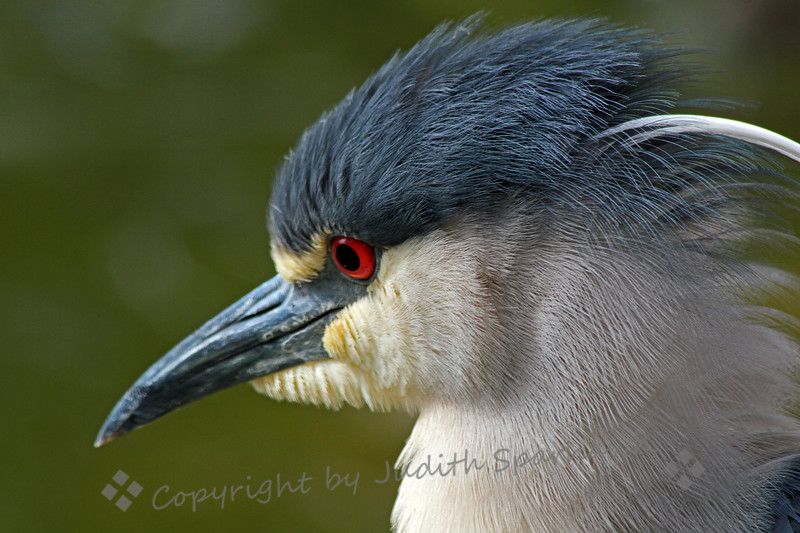 Black-crowned Night Heron Portrait ~ This night heron was photographed in the San Diego area.