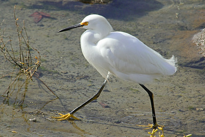 We're Walking, We're Walking... ~  This Snowy Egret was wading and hunting in shallow water, then began to stride quite quickly.  I liked that his yellow feet showed through the water.  This was at Bolsa Chica Ecological Preserve in Orange County, California.