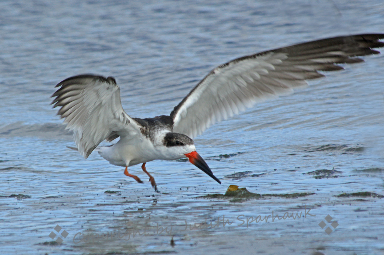 """Flying Black Skimmer ~ This photograph was taken in San Diego.  He was coming down to water level, about to begin the """"skimming"""" behavior, using the long lower mandible to catch fish in flight."""