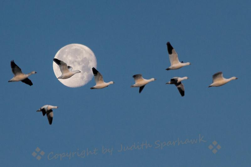 Moon Flight of Snow Geese