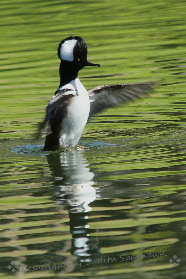 Look At Me! ~ This male Hooded Merganser was flapping his wings as if showing off to his mate, who, sad to say, looked very unimpressed!