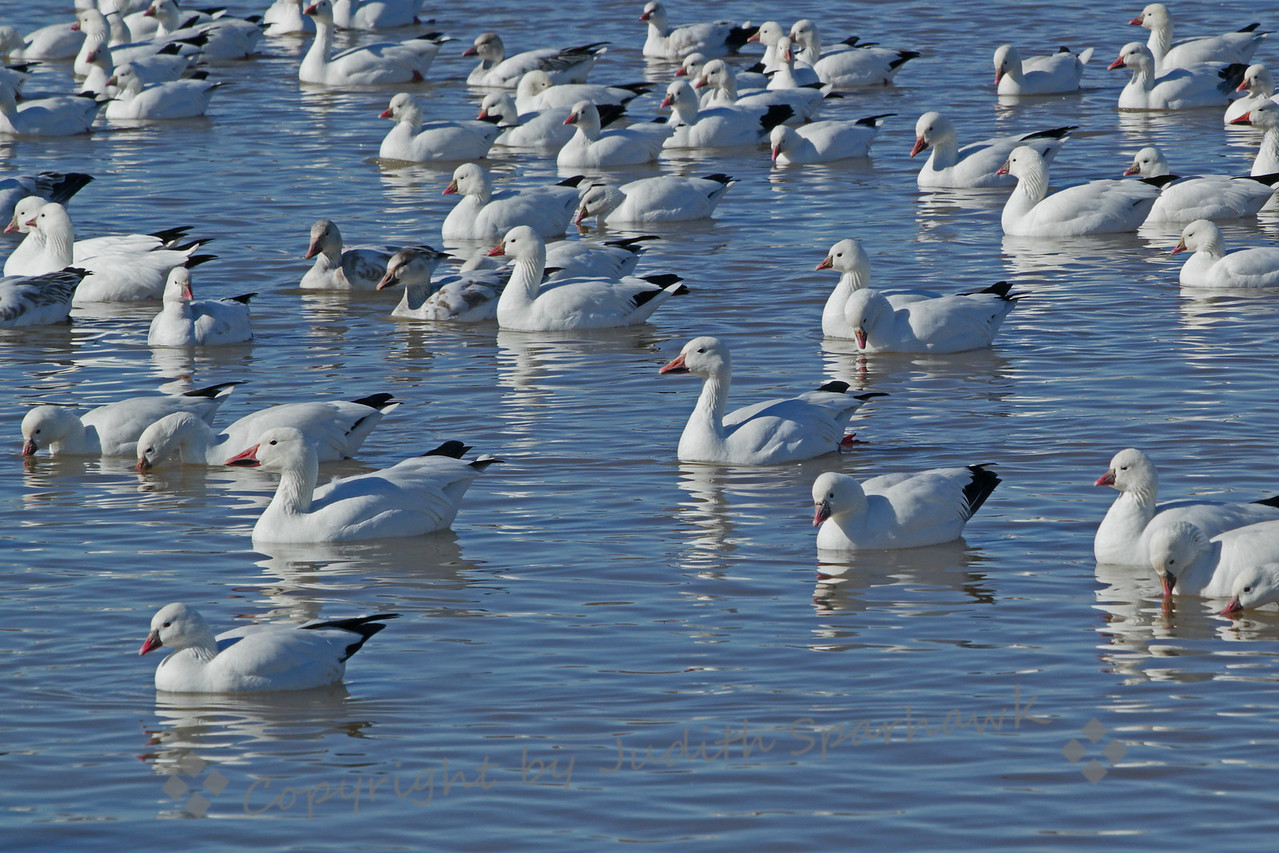 At the Goose Pond ~ One of the pond areas at Bosque del Apache, filled with hundreds of Snow and Ross's Geese.