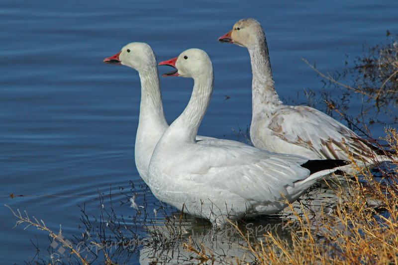 Three Snow Geese ~ These geese were standing at the pond's shore.  The one on the right is a young goose, shown by the darker and browner plumage.  They were at Bosque del Apache, New Mexico.