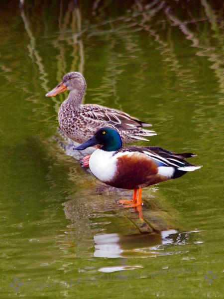 Mr & Mrs Northern Shoveler