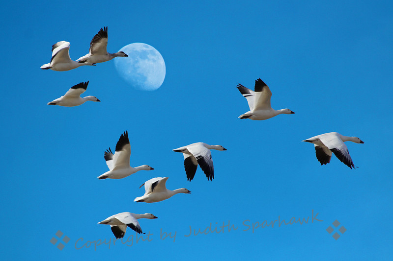 Moon Flight of the Geese ~ These Ross's Geese were flying from a pond to the grassy fields to feed.  I loved the group flight against the morning moon.