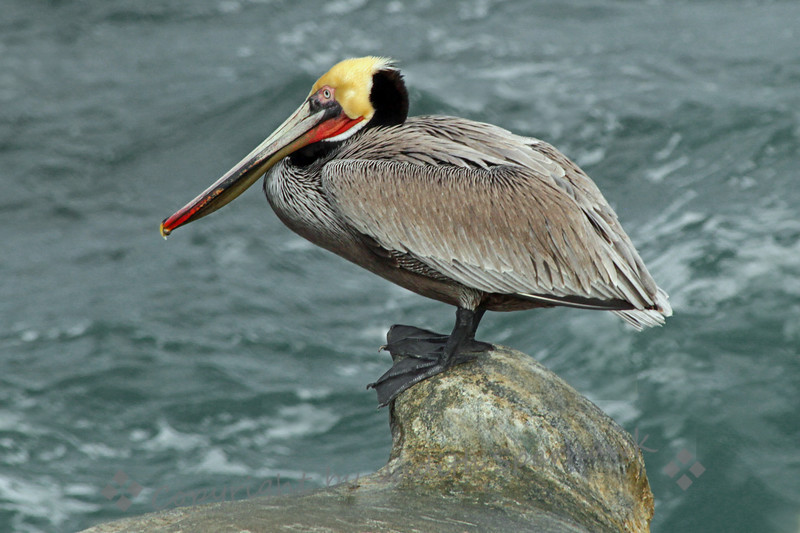 Perching Pelican ~ This Brown Pelican was perched on a knob of rock above the ocean.  Photographed at La Jolla Cove, San Diego area.