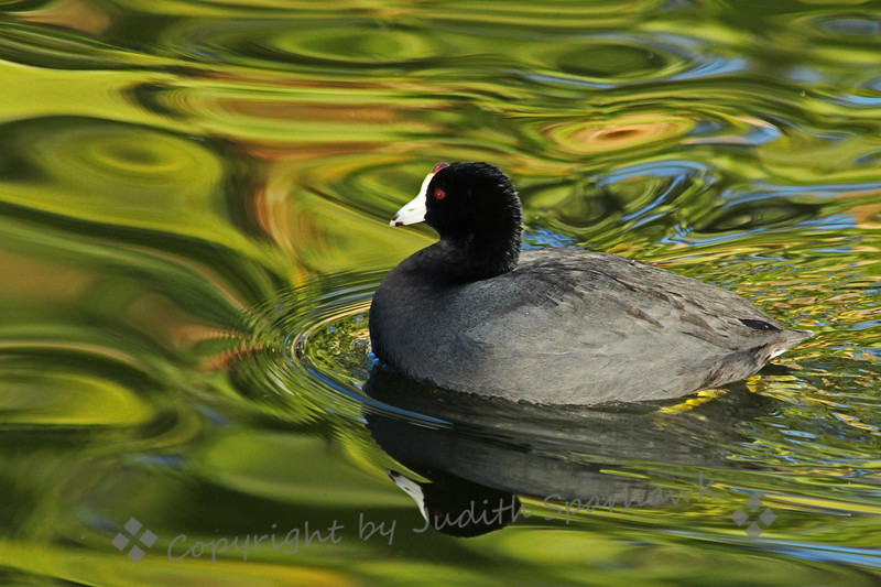 American Coot Reflections ~ Even the common old coot looks pretty snazzy in the beautiful lake reflections.