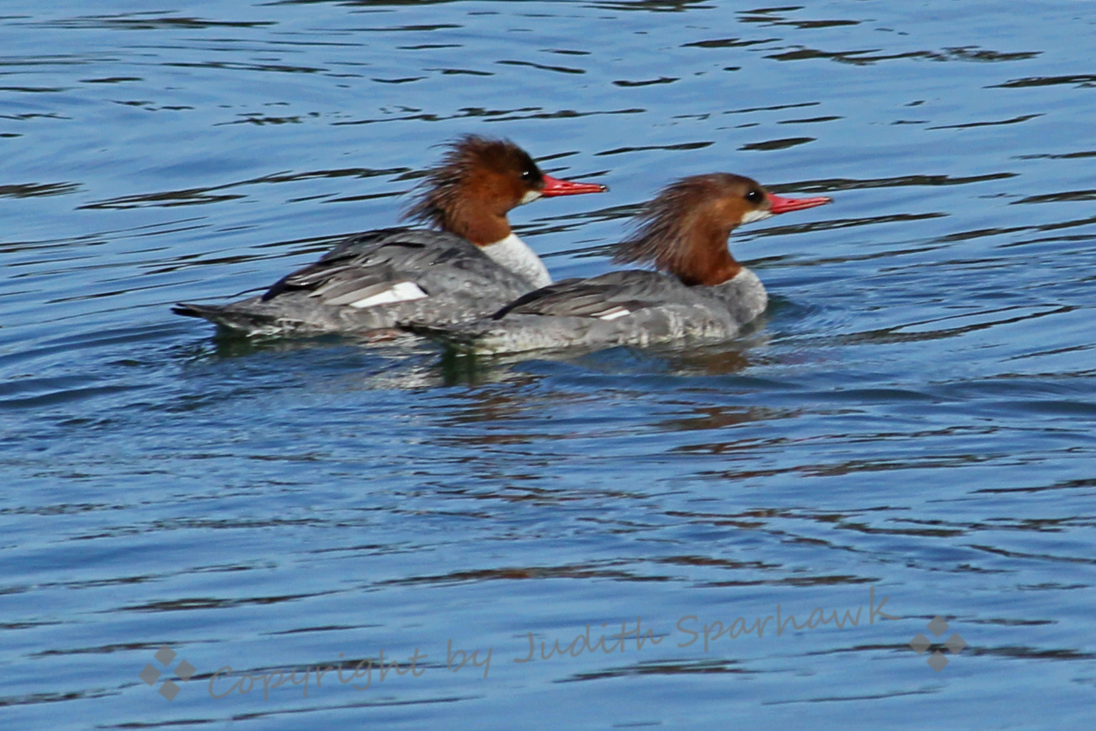 Female Common Mergansers ~ These mergansers were photographed at the Riverside National Cemetary.  As you can see, they are alive and well :-)  I liked the way they seemed to be swimming in formation....the military influence?