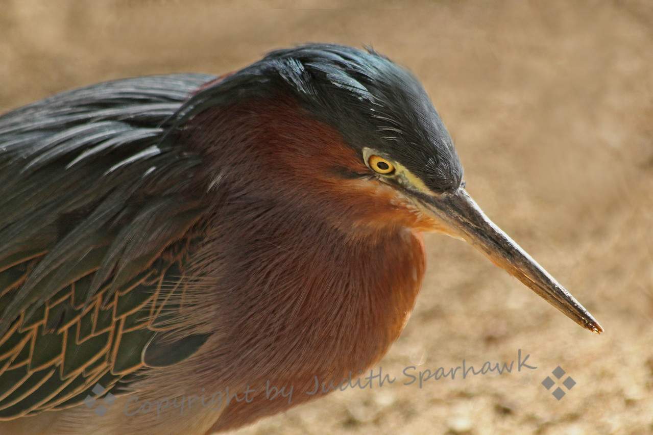 Green Heron Portrait ~ I had never gotten such a close-up look at one of these little herons, and I didn't know they had such interesting and beautiful patterns in their plumage.