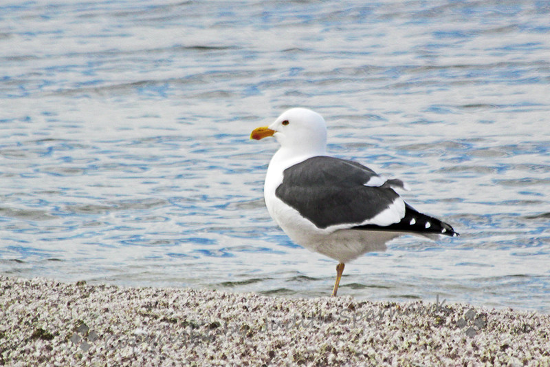 Yellow-footed Gull ~ Of all the gulls I saw today at Salton Sea, this was the only one with a dark mantle.  I really stood out, and I was happy to see its yellow legs and feet, making sure it was a Yellow-footed Gull, not a Western Gull with its pink feet and legs.