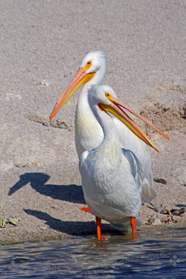 Talking Back ~ American White Pelican pair at Salton Sea.