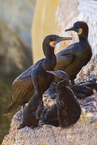 Proud Parents ~ I visited La Jolla Cove in San Diego, and photographed the Brandt's Cormorants nesting on the cove cliffs.  When I had last seen them they were sitting on eggs.  Now the babies are hatched and growing up.