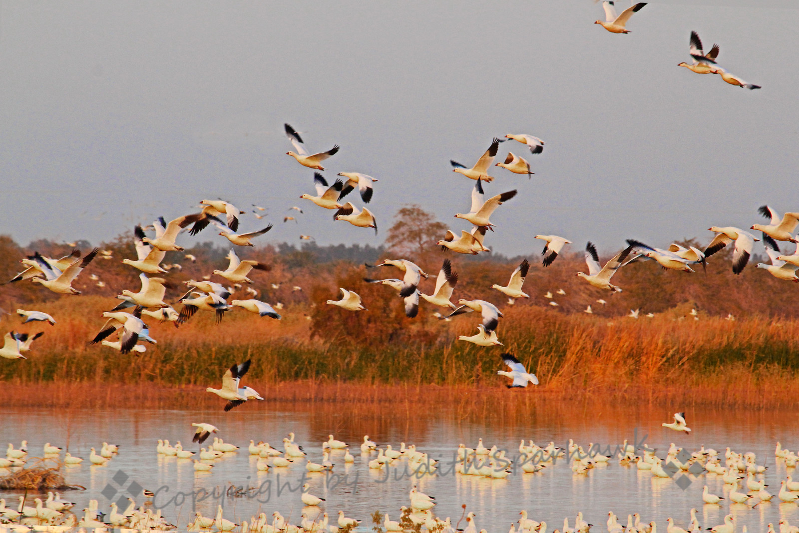 Dawn Flight of Geese ~ In the warm light of dawn, hundreds of Snow Geese and Ross's Geese flew into the ponds near Salton Sea, to begin the day, before flying out to the grassy fields. They make an amazing vibration and sound with their wings and their calls.