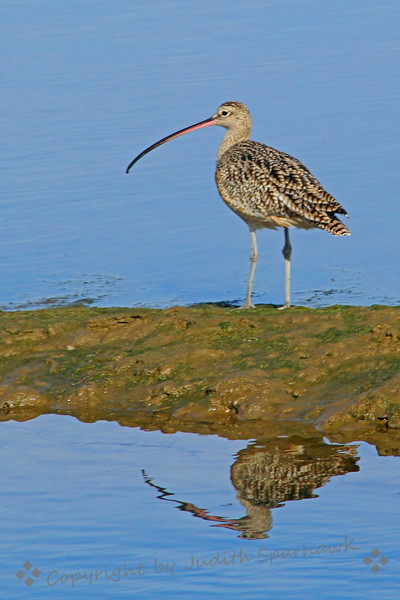 Some Bill! ~ This Long-billed Curlew posed for his picture, showing off his long bill in his reflection in the water.  He was at Bolsa Chica, in Orange County, California.