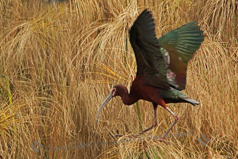 White-faced Ibis Perching ~ This ibis was photographed in the San Diego area.