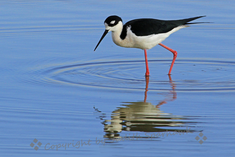 Black-necked Stilt ~ This stilt was admiring himself in his reflection, or so I like to think.  His plumage reminds me of a spiffy tuxedo.  He was in a pond in the Salton Sea area.