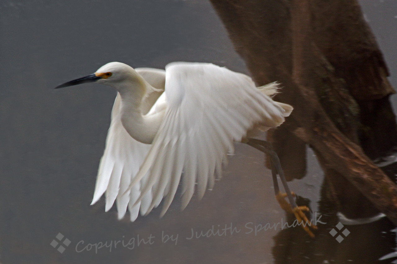 Snowy Egret Flying ~ I was happy to capture this Snowy Egret in flight, just taking off, just as his yellow feet cleared the water.  This photo was taken in the San Diego area.