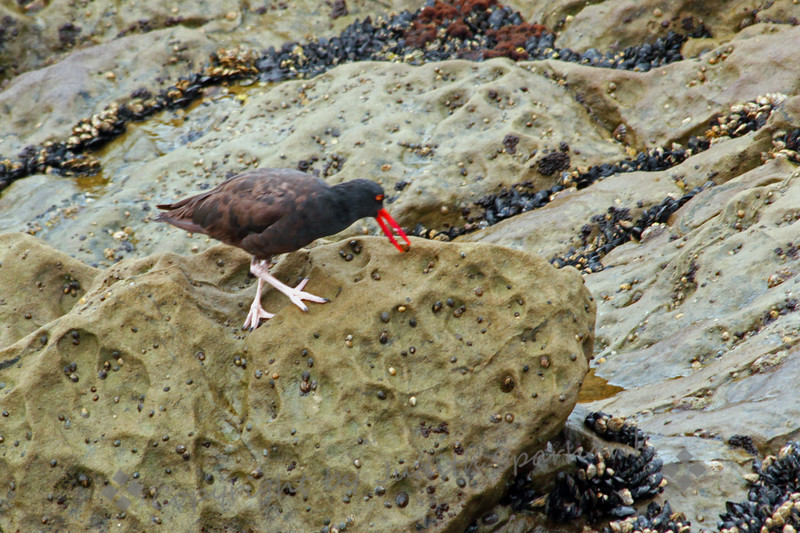 Black Oystercatcher ~