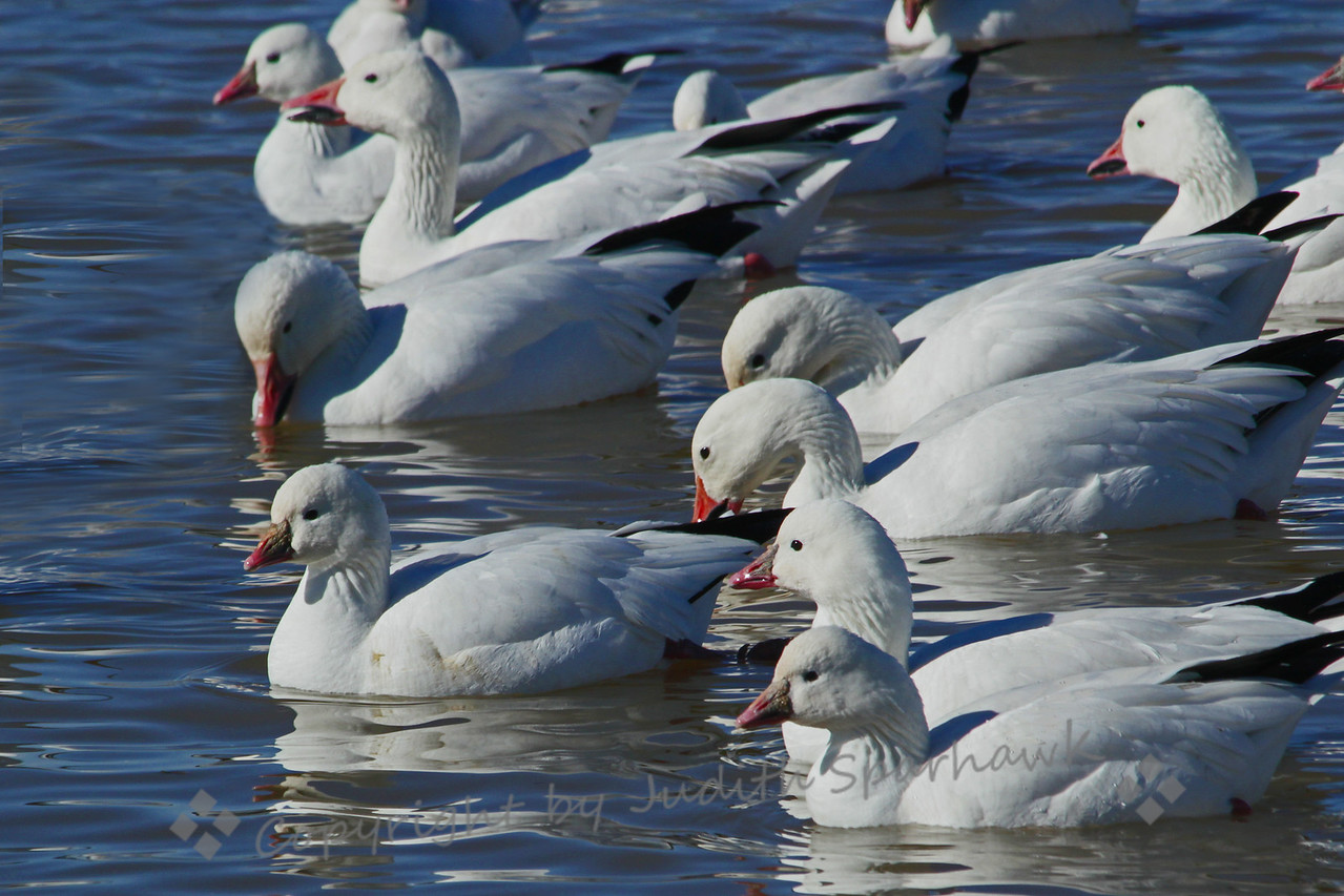 Goose Pond ~ this is just a bit of the large gathering of Snow and Ross's Geese in one pond area at Bosque del Apache, New Mexico.