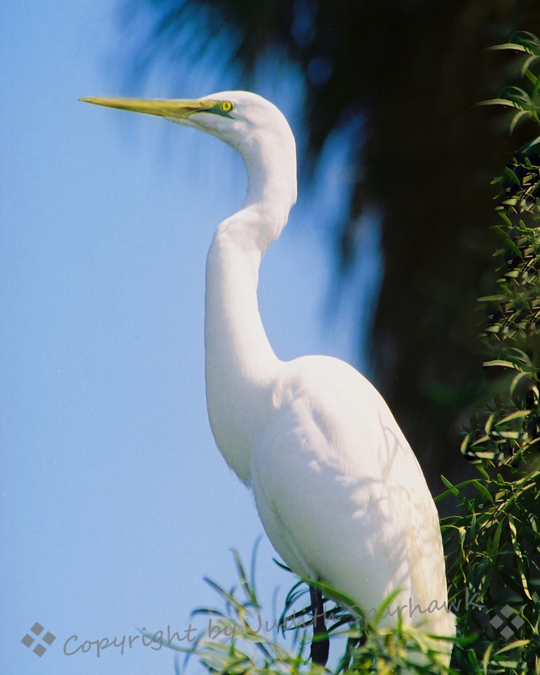 Lakeside Sentinel ~ This Great Egret stood a long time, very still, at the edge of a lake.