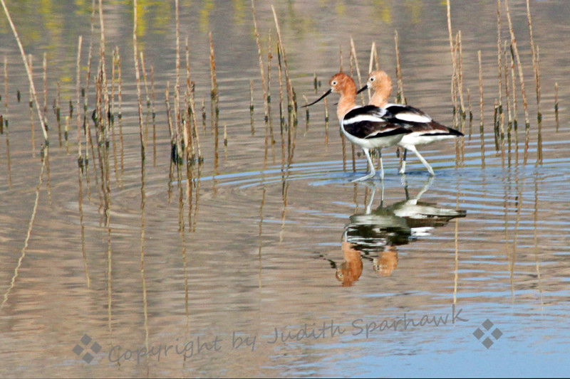 American Avocet Duo ~ The avocets were photographed at San Jacinto Wildlife Area this morning.  They are in full breeding plumage, showing the rufous heads and necks.  I liked the reflections, and the way they were walking two-by-two.