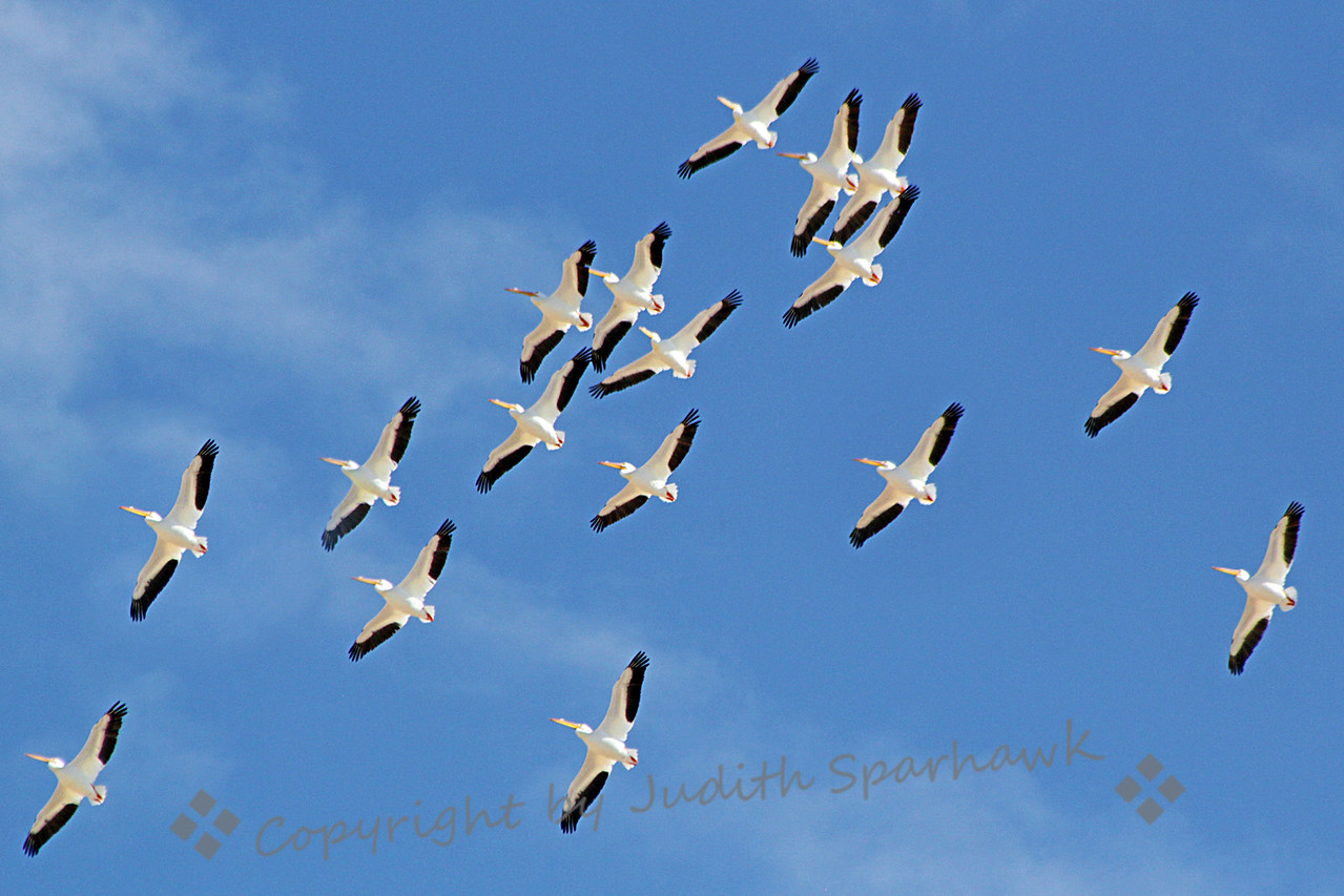 Pelicans in Flight ~ Part of the large flock of White Pelicans soaring overhead at Salton Sea.  They were soaring effortlessly, almost no wing movement.