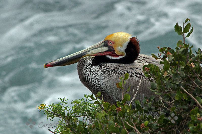Ocean View ~ The Brown Pelican, in all his breeding glory, views the ocean below.  Photographed at La Jolla Cove, San Diego area.