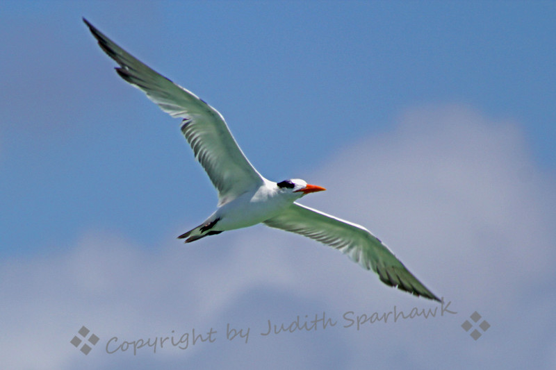 Royal Tern in Flight ~ Photographed at Dania Beach Pier, Dania Beach, near Ft. Lauderdale, Florida.
