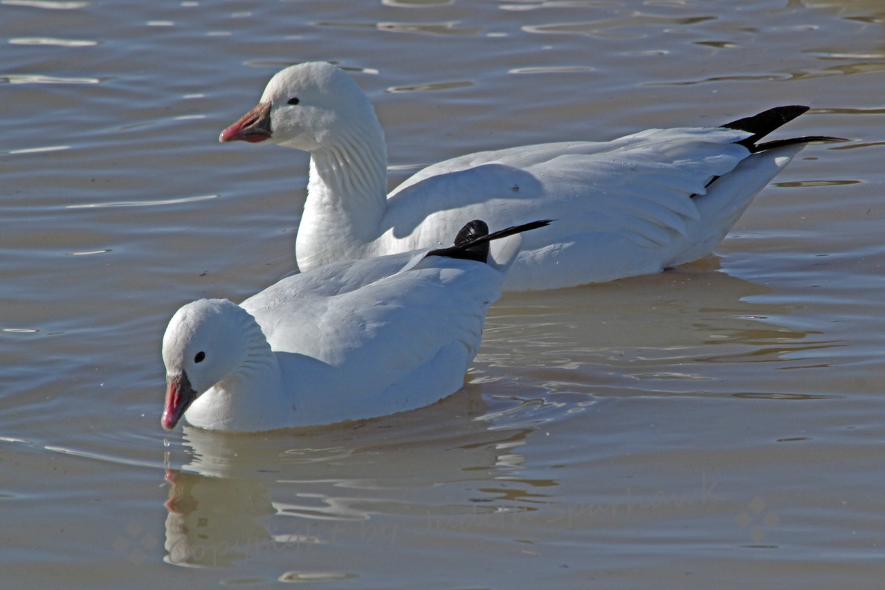 Snow and Ross's Geese ~ This image demonstrates well the differences between the Snow and Ross's geese; the Snow is larger, has a longer bill; the cute smaller one in front is Ross's.  They were in a mass of both species in a lake area at Bosque del Apache in New Mexico.
