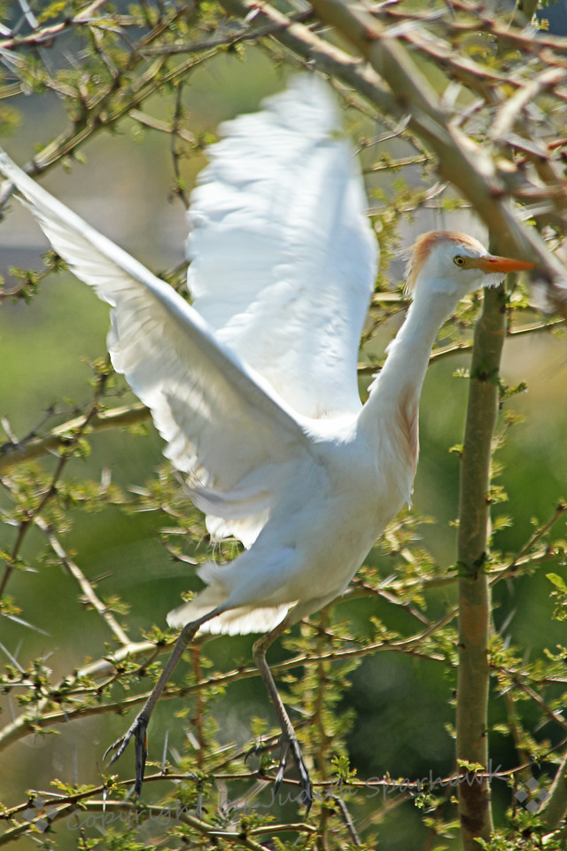Cattle Egret Take-Off ~ This Cattle Egret was leaving the nest to obtain more nesting materials to bring back to his mate.