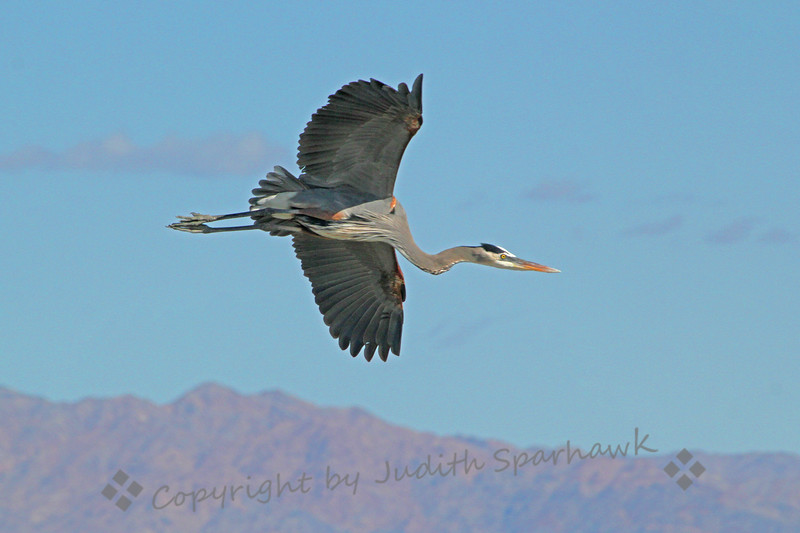 Flying High ~ This Great Blue Heron was flying above Salton Sea.  I photographed him on a recent birding visit there.