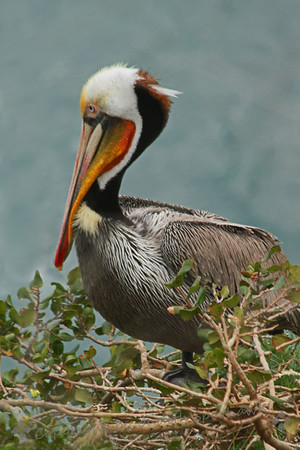 Brown Pelican ~ The pelicans were everywhere at La Jolla Cove, sporting their bright breeding colors.  They were perched on rocks, on bushes, cliffs, flying everywhere.