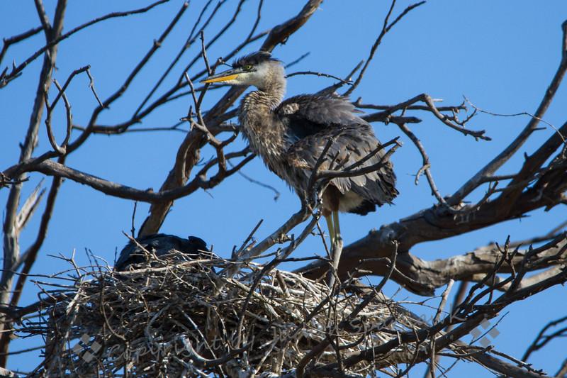 Great Blue Heron Nestling