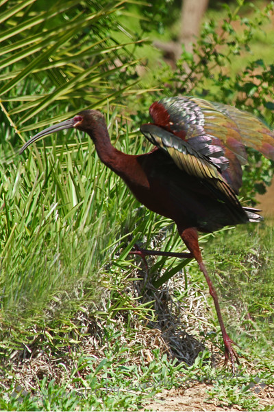 White-faced Ibis ~ This Ibis is showing his glossy wing feathers, which are shining in the sunlight.