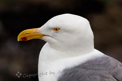 Western Gull Portrait