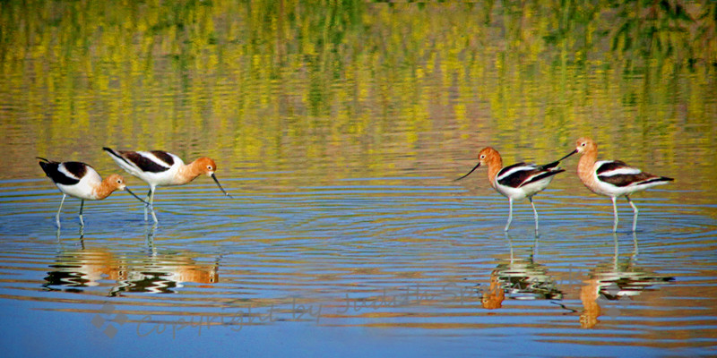 American Avocet Face Off