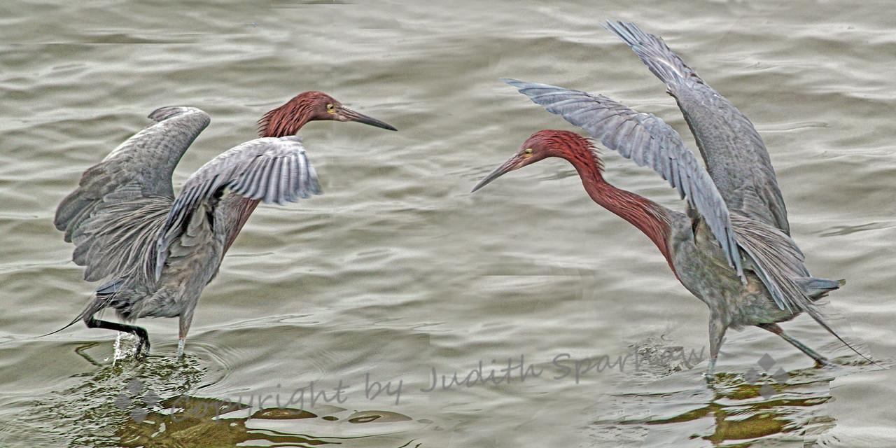 Reddish Egrets Fishing