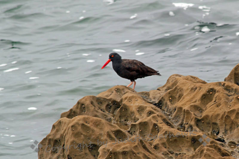 Black Oystercatcher ~ This is one of two birds on the rocks at high tide at Dana Point, California.  As the tide receded, they became more active and started feeding on the small shell fish on the lower levels of the rocks.