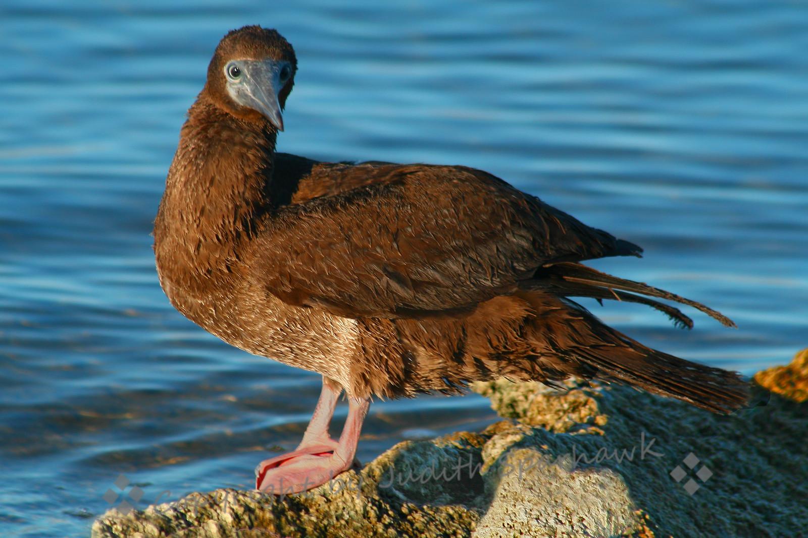 Here's Lookin' At You ~ Juvenile Brown Booby, Salton Sea, California, 9/3/10.